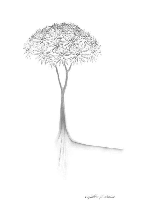 Hortus botanicus Euphobia plicaturae