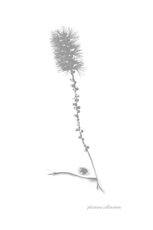 Hortus botanicus Plicatura callistemon