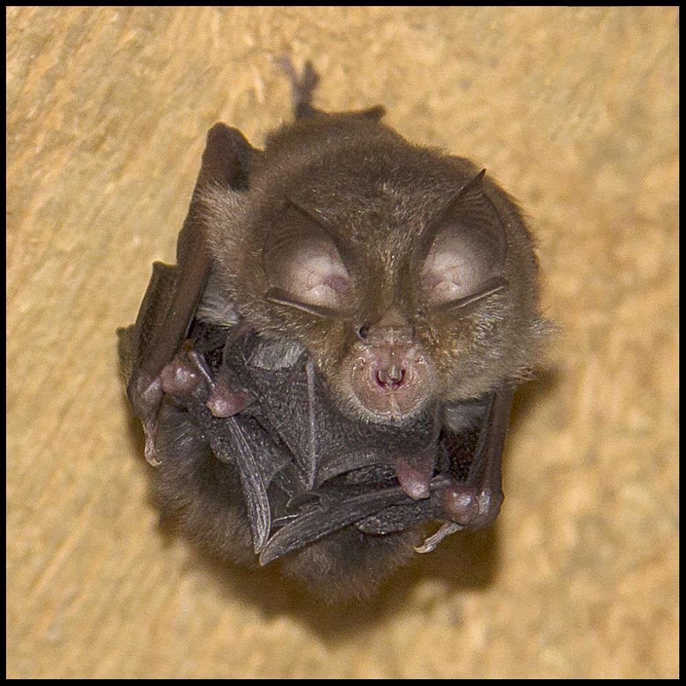 Bat resting. Elena Díaz