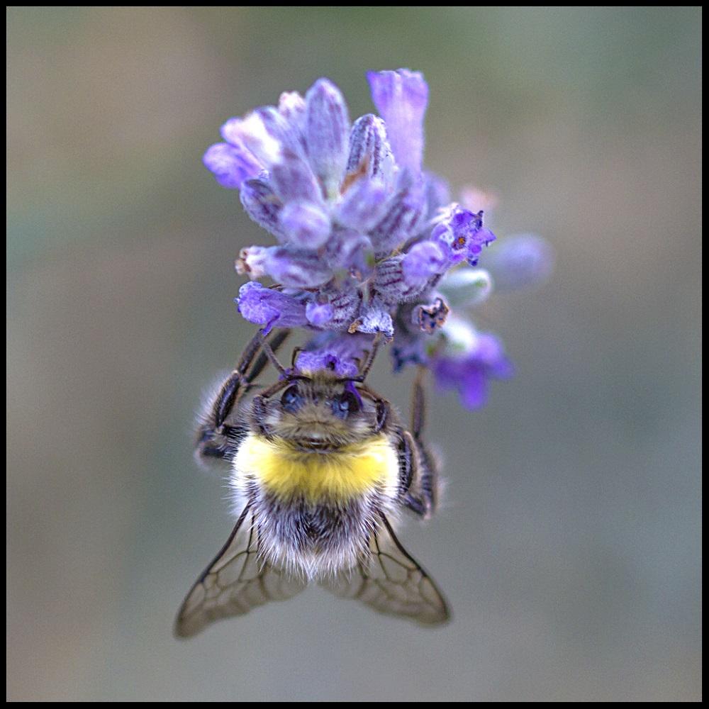 Bee in a flower. Elena Díaz