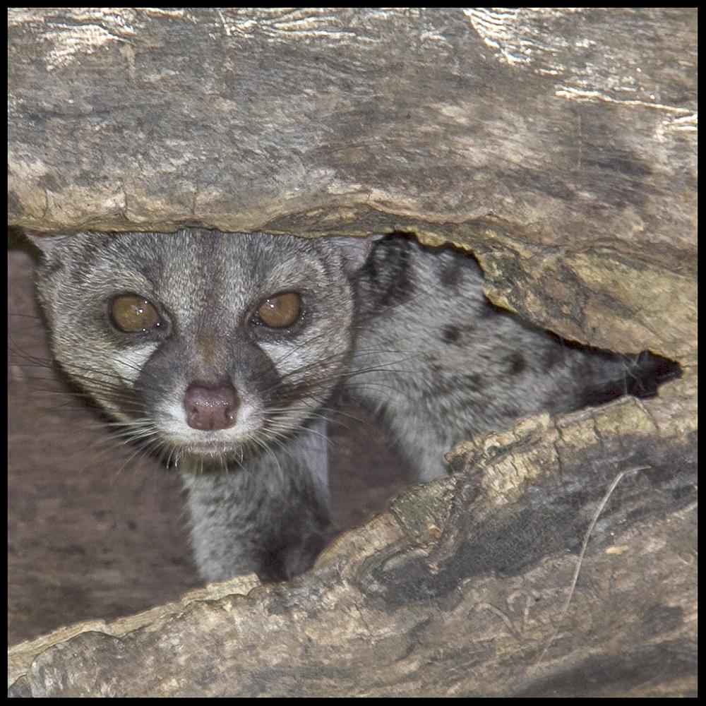 Genet hidden in a tree trunk. Elena Díaz