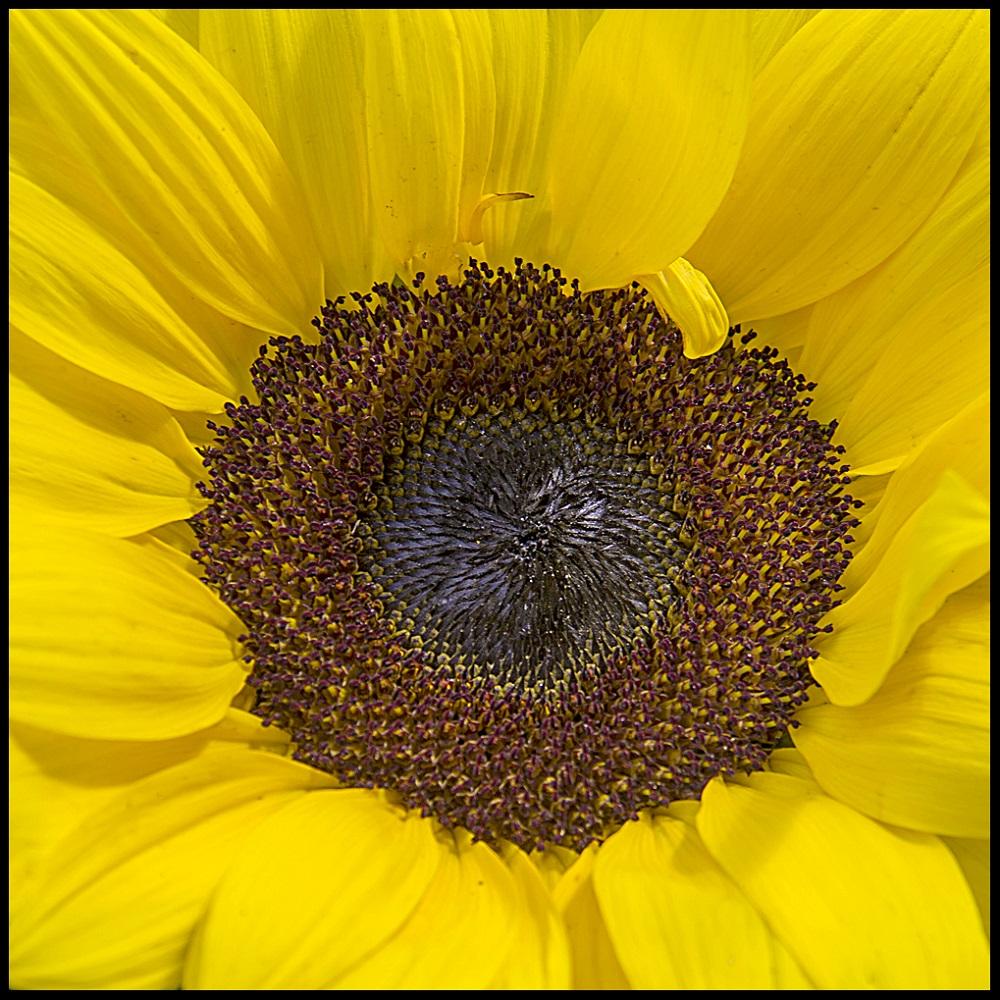 Macro sunflower. Elena Díaz